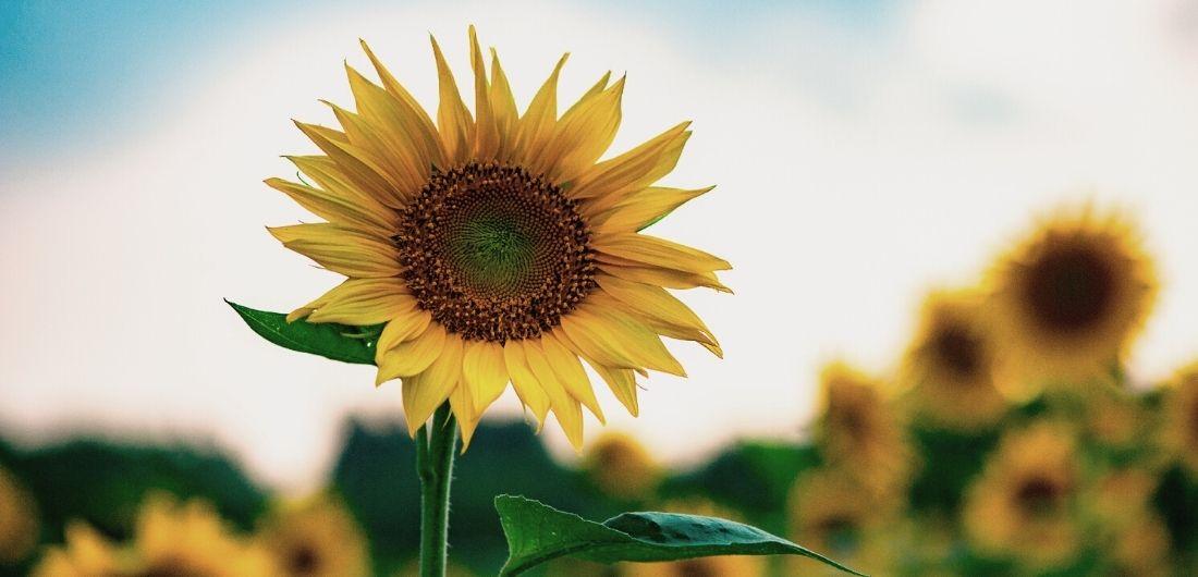 Keltainen auringokukkapelto kukkii