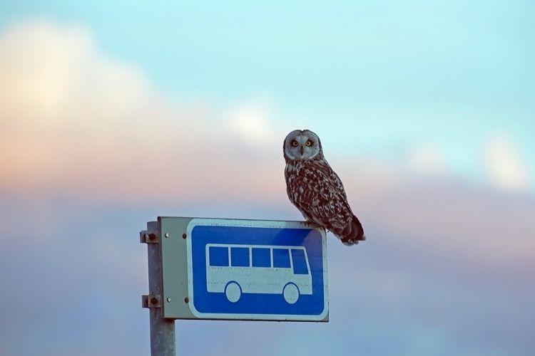 Pöllö istuu bussitolpan päällä.