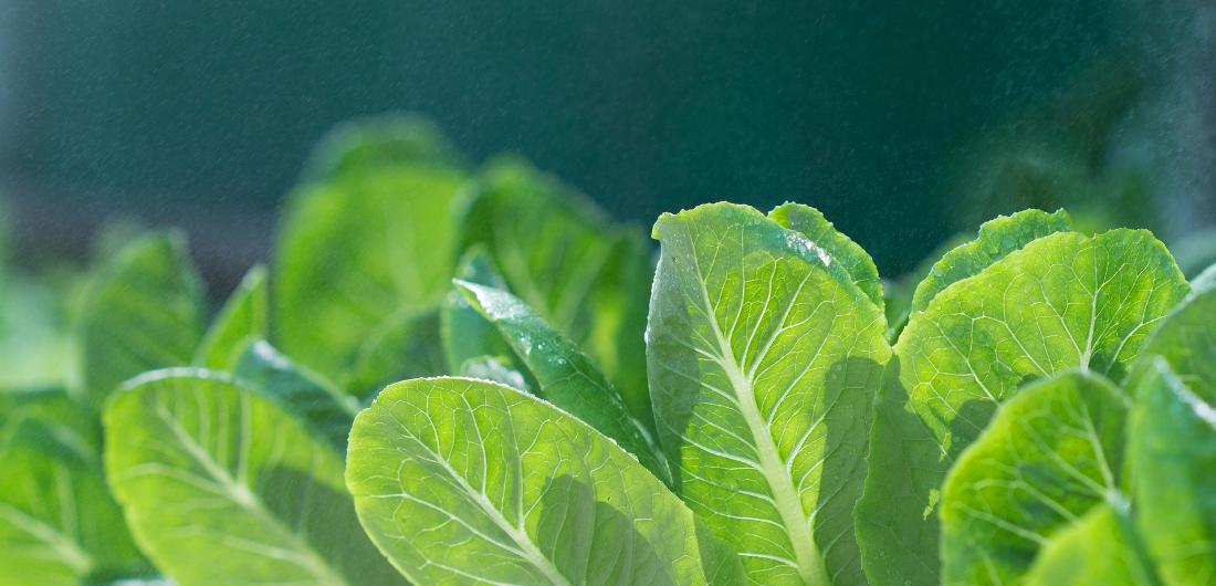Salaatinlehdet kasvavat auringonvalossa.