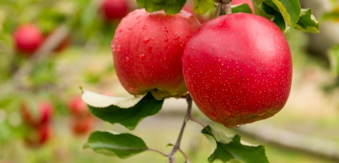 Kypsät omenat puussa.