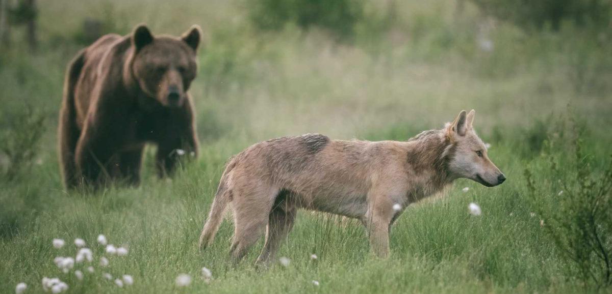 Karhu ja susi suomaisemassa.